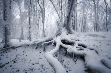 tree with roots covered in snow in foggy forest in winter