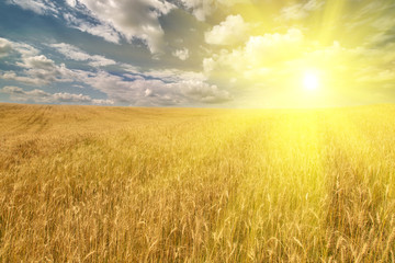golden field with wheat under bright sun