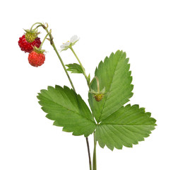 flower and wild strawberries on white