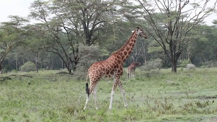 Giraffes At A Game Park In Kenya Africa