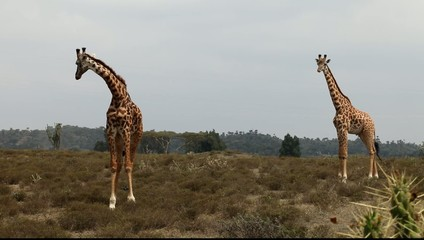 Giraffes in the savanna. Kenya.