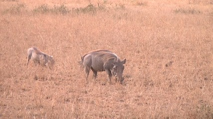 Warthog (Phacochoerus aethiopicus) family eating in the wild.