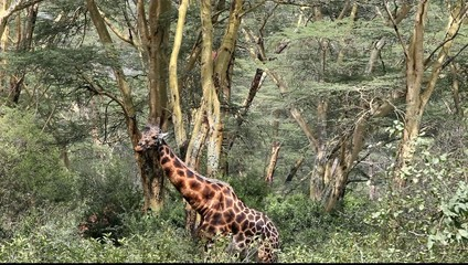 Giraffe At A Game Park In Kenya Africa