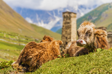 close up of cows in Ushguli, Upper Svaneti, Georgia, Europe. Cau