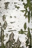 Fototapeta Birch Bark Texture