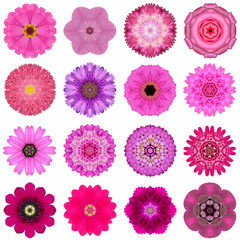 Collection Various Pink Concentric Flowers Isolated on White
