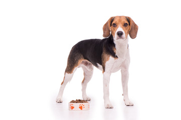 Nice Beagle standing on white background