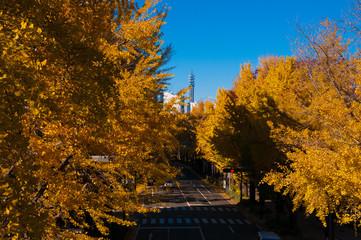 山下公園 秋の銀杏並木