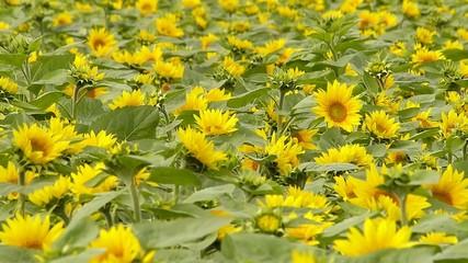 風景_ひまわりの花畑