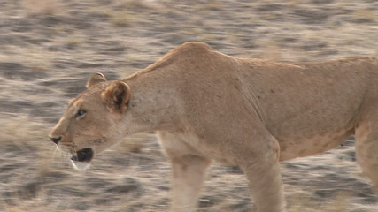 lioness with a bad eye trying to hunt