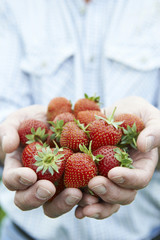Close Up Of Man Holding Freshly Picked Strawberries