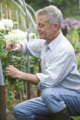 Senior Man Cultivating Flowers In Garden