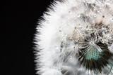 Dandelion in soft focus - 70395929