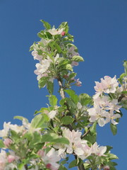 apple flowers and buds blooming at spring