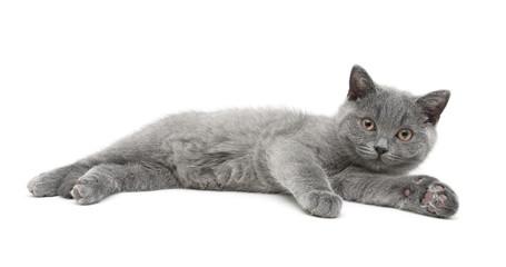 little kitten lies on a white background