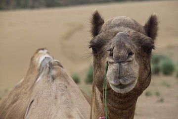 Portrait of a camel in desert dunes, India