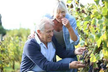 Senior couple eating grapes from vineyard
