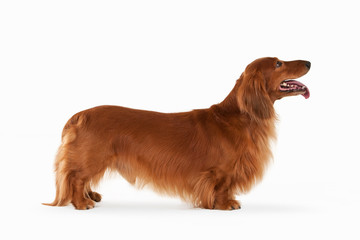 Brown dachshund on white background