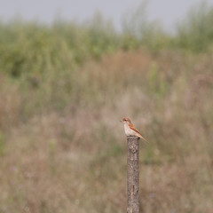 red-backed shrike female resting on a wooden pole