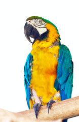 Green-winged macaw over white