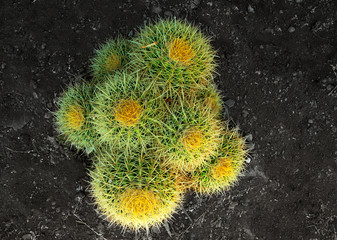 Golden barrel cactus from above