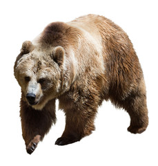 Bear. Isolated  on white
