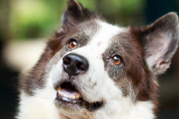 portrait Thai bangkaew dog