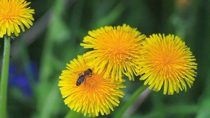 Insects is collecting nectar on a dandelion flower