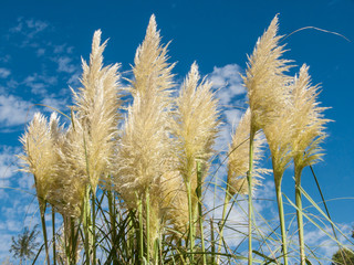 Pampas grass and blue sky