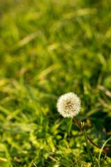Dandelion against a grass