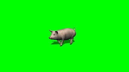 pig runs - 2 different views- green screen
