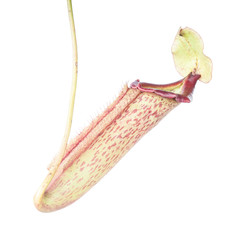 Nepenthes (Miranda) on white background.
