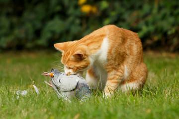 Katze frißt Taube
