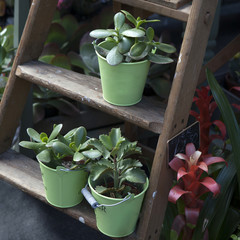 Kalanchoe in the green pot stand on the wooden ladder