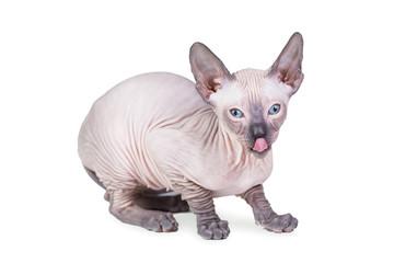 Sphynx kitten isolated on white
