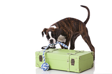 Boxer dog ready to travel
