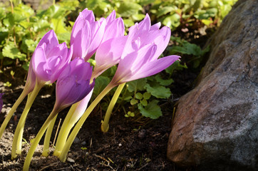 sunlit colchicum in the flowerbed