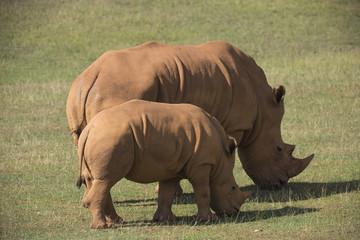 adult and baby rhinos on grassland