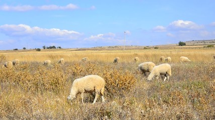 Herd of sheep feeding on the country side