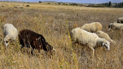 Flock of sheep feeding on the field