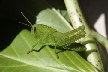 Grillo verde, Cavalletta