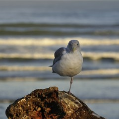 A seagull balances on one leg on driftwood at the ocean.
