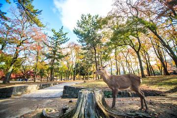 Nara deer roam free in Nara Park, Japan