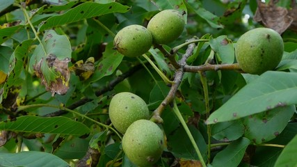 Green walnut on tree