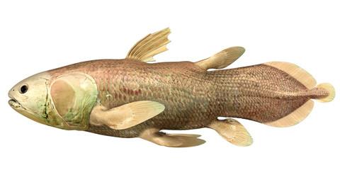 Latimeria Chalumnae  (coelacanth)