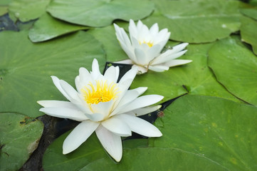 Water-lilies over green leaves on the pond.