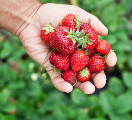 Strawberry fruits in a man's hands.