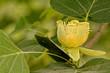 canvas print picture - Tulipier de Virginie