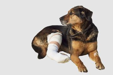 Wounded dog, a broken leg, dog eyes, isolated on white
