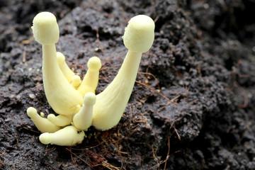 Macro of Yellow mushroom.